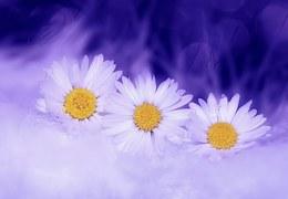 daisy-583090__180